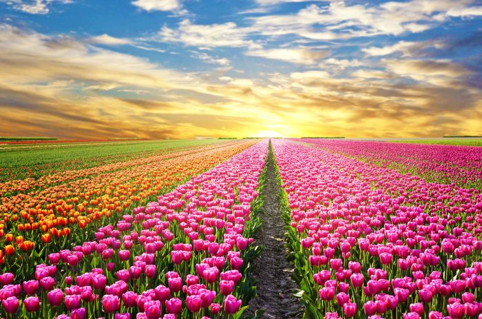 47313272 - a magical landscape with sunrise over tulip field in the netherlands